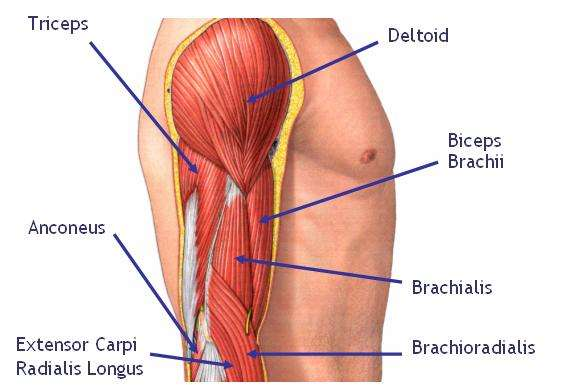 muscles-of-the-arm-flashcards.jpg